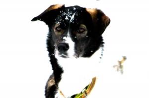 Hundene ser allerede frem til sesongen 2015. Foto: Anne Karang